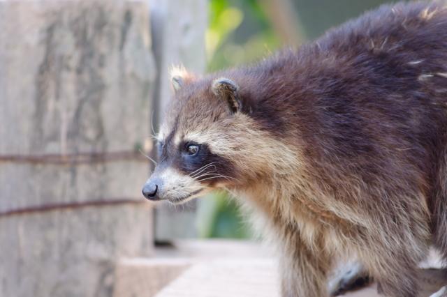 アライグマ駆除はお任せください|体長50~60cm。ペット禁止の特定外来生物。ヒトにも感染する狂犬病などの病原体を持っている可能性がある危険な害獣です。鋭い爪や歯で噛みつかれたら大変なことになります。糞尿から発生する悪臭やダニなどにより健康被害をもたらします。