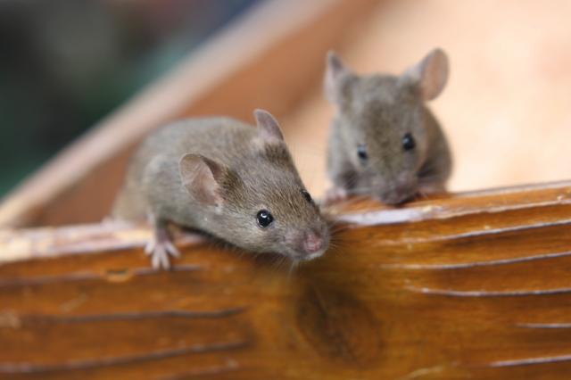 ねずみ・ネズミ駆除はお任せください|体長15~25cm。民家の被害は、ほぼ3種類の家ねずみによるものです。ドブネズミ、クマネズミ、ハツカネズミと見た目や大きさで判別でき、被害場所も水回り周辺や天井裏などそれぞれ異なります。繁殖して被害が大きくならないうちに専門の駆除業者に任せましょう。